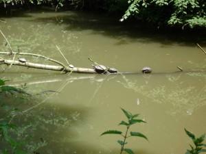 Schildkröten beim Sonnenbaden