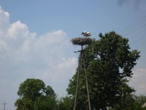Störche auf ihrem Nest