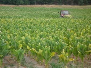 Tabakanbau an der Weichsel