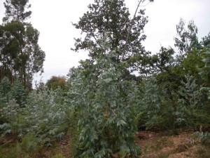 junge Eukalyptusplantage